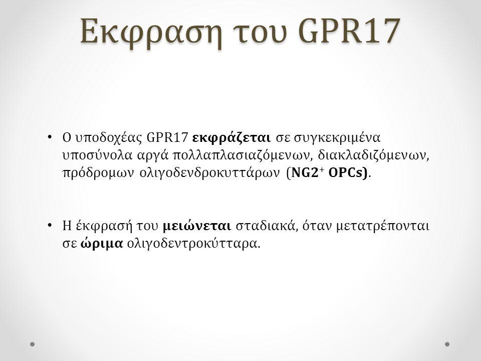 Εκφραση του GPR17 Ο υποδοχέας GPR17 εκφράζεται σε συγκεκριμένα υποσύνολα αργά πολλαπλασιαζόμενων, διακλαδιζόμενων, πρόδρομων ολιγοδενδροκυττάρων (NG2 + OPCs).