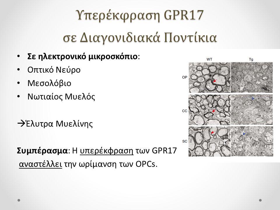 Σε ηλεκτρονικό μικροσκόπιο: Οπτικό Νεύρο Μεσολόβιο Νωτιαίος Μυελός  Έλυτρα Μυελίνης Συμπέρασμα: Η υπερέκφραση των GPR17 αναστέλλει την ωρίμανση των OPCs.