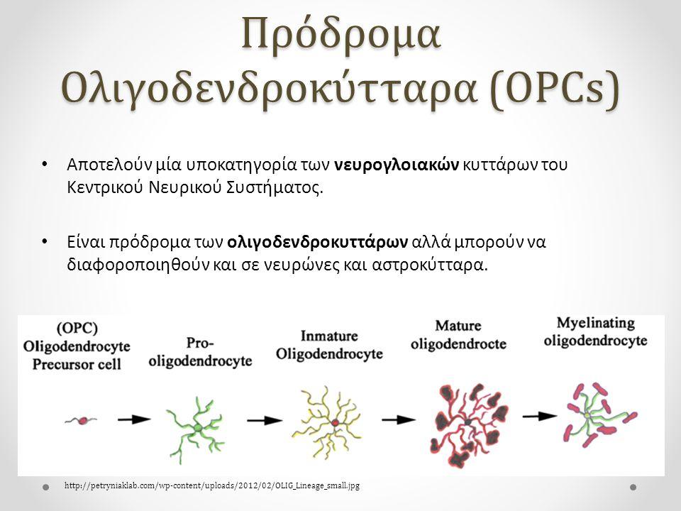 Πρόδρομα Ολιγοδενδροκύτταρα (OPCs) Αποτελούν μία υποκατηγορία των νευρογλοιακών κυττάρων του Κεντρικού Νευρικού Συστήματος.