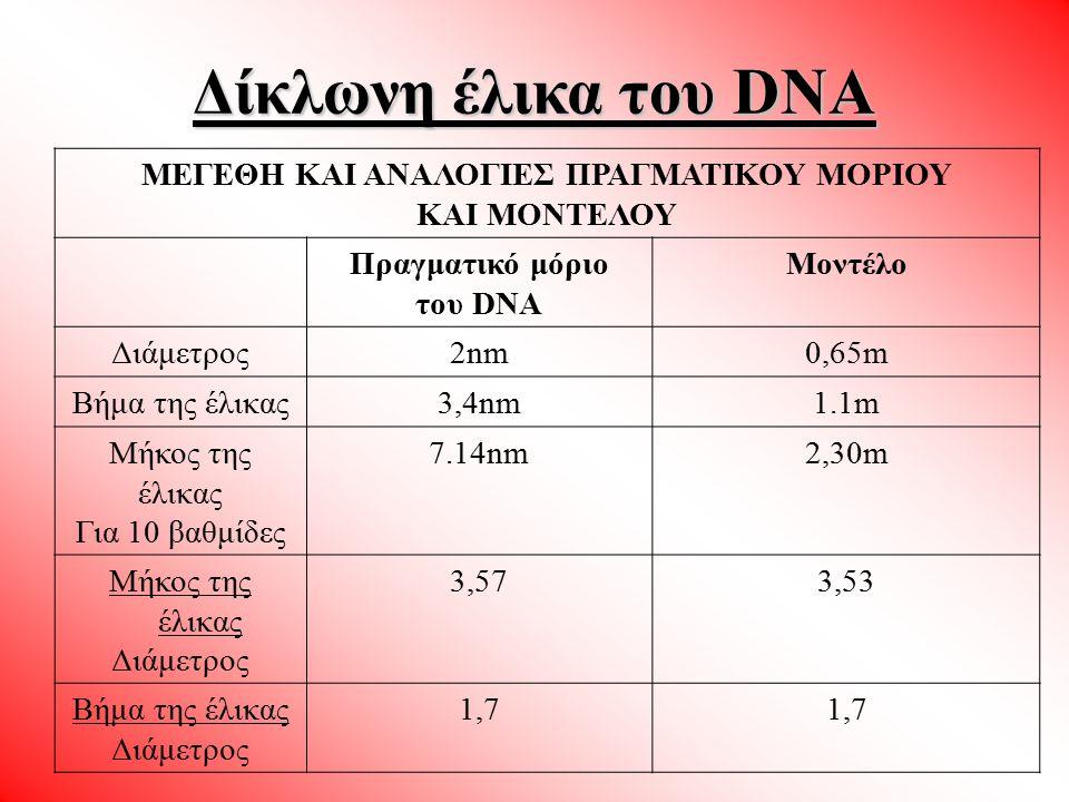 ΜΕΓΕΘΗ ΚΑΙ ΑΝΑΛΟΓΙΕΣ ΠΡΑΓΜΑΤΙΚΟΥ ΜΟΡΙΟΥ ΚΑΙ ΜΟΝΤΕΛΟΥ Πραγματικό μόριο του DNA Μοντέλο Διάμετρος2nm0,65m Βήμα της έλικας3,4nm1.1m Μήκος της έλικας Για