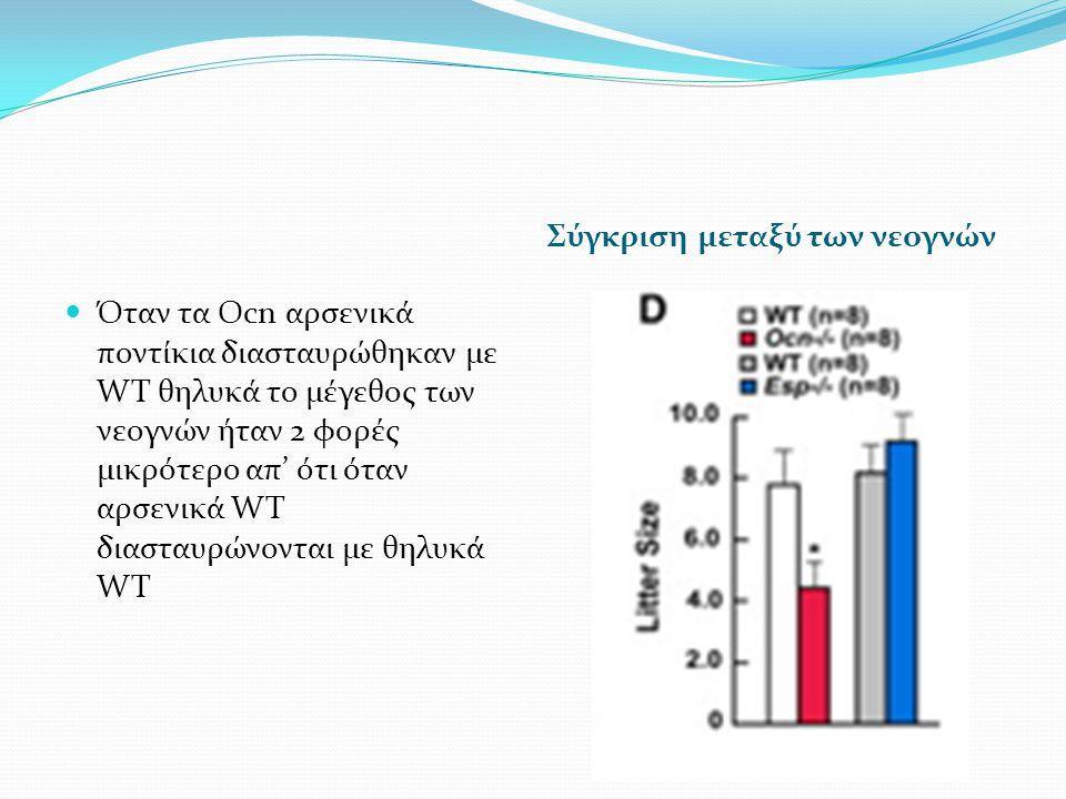 Σύγκριση μεταξύ των νεογνών Όταν τα Ocn αρσενικά ποντίκια διασταυρώθηκαν με WT θηλυκά το μέγεθος των νεογνών ήταν 2 φορές μικρότερο απ' ότι όταν αρσενικά WT διασταυρώνονται με θηλυκά WT