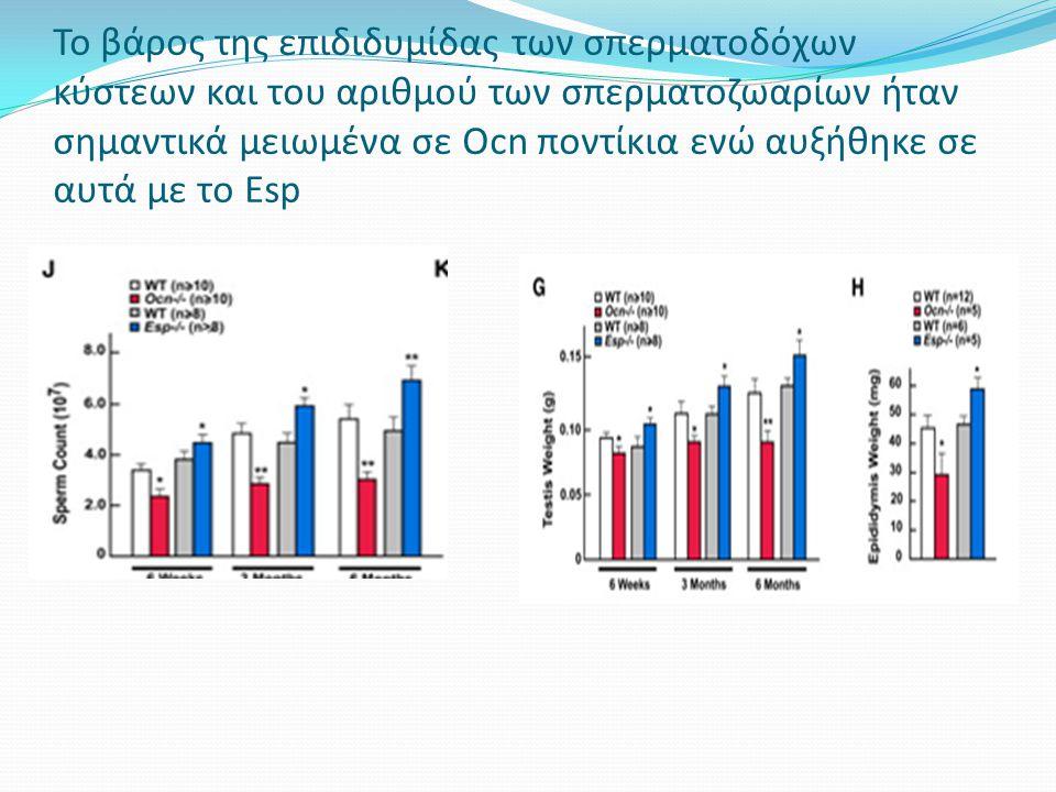 Το βάρος της επιδιδυμίδας των σπερματοδόχων κύστεων και του αριθμού των σπερματοζωαρίων ήταν σημαντικά μειωμένα σε Ocn ποντίκια ενώ αυξήθηκε σε αυτά με το Esp