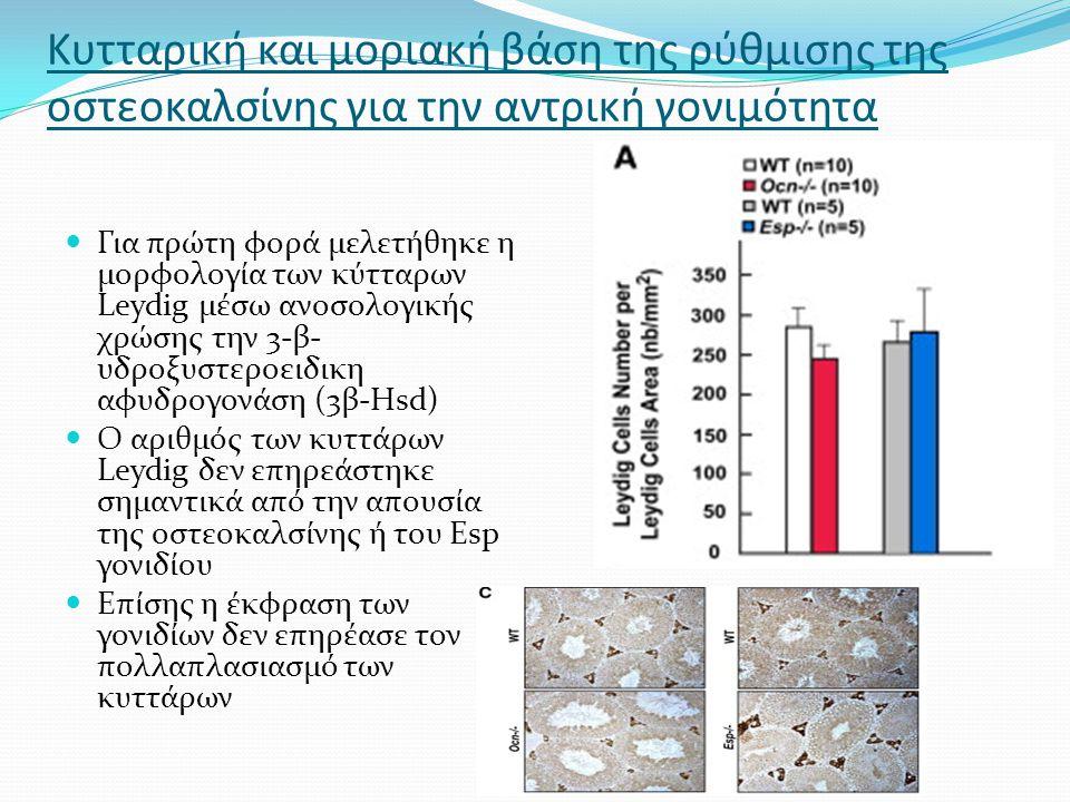 Κυτταρική και μοριακή βάση της ρύθμισης της οστεοκαλσίνης για την αντρική γονιμότητα Για πρώτη φορά μελετήθηκε η μορφολογία των κύτταρων Leydig μέσω ανοσολογικής χρώσης την 3-β- υδροξυστεροειδικη αφυδρογονάση (3β-Hsd) Ο αριθμός των κυττάρων Leydig δεν επηρεάστηκε σημαντικά από την απουσία της οστεοκαλσίνης ή του Esp γονιδίου Επίσης η έκφραση των γονιδίων δεν επηρέασε τον πολλαπλασιασμό των κυττάρων
