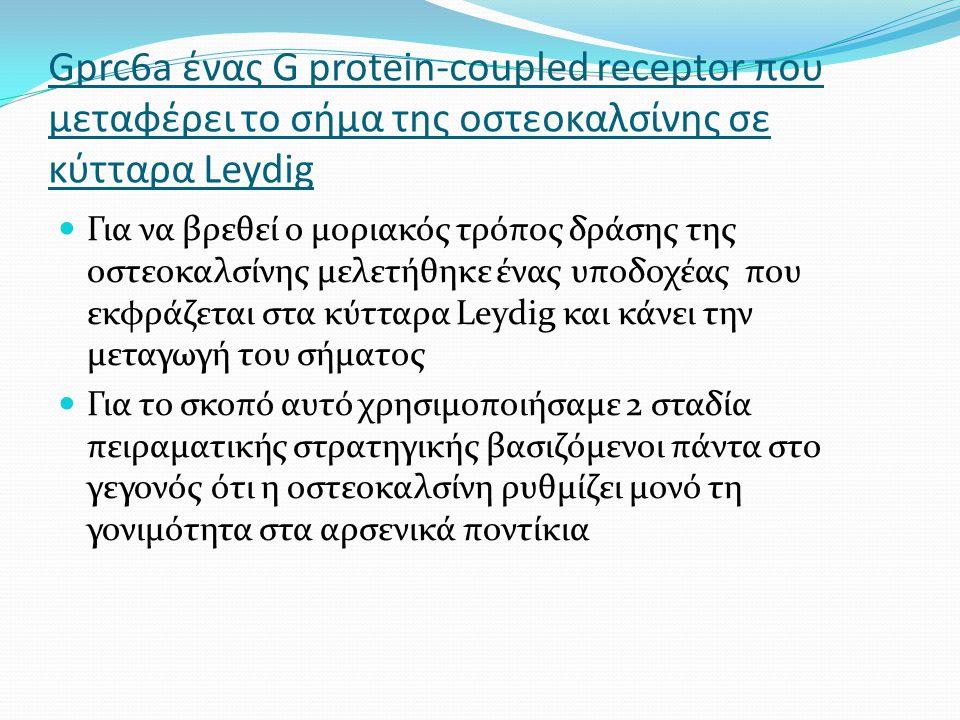 Gprc6a ένας G protein-coupled receptor που μεταφέρει το σήμα της οστεοκαλσίνης σε κύτταρα Leydig Για να βρεθεί ο μοριακός τρόπος δράσης της οστεοκαλσίνης μελετήθηκε ένας υποδοχέας που εκφράζεται στα κύτταρα Leydig και κάνει την μεταγωγή του σήματος Για το σκοπό αυτό χρησιμοποιήσαμε 2 σταδία πειραματικής στρατηγικής βασιζόμενοι πάντα στο γεγονός ότι η οστεοκαλσίνη ρυθμίζει μονό τη γονιμότητα στα αρσενικά ποντίκια