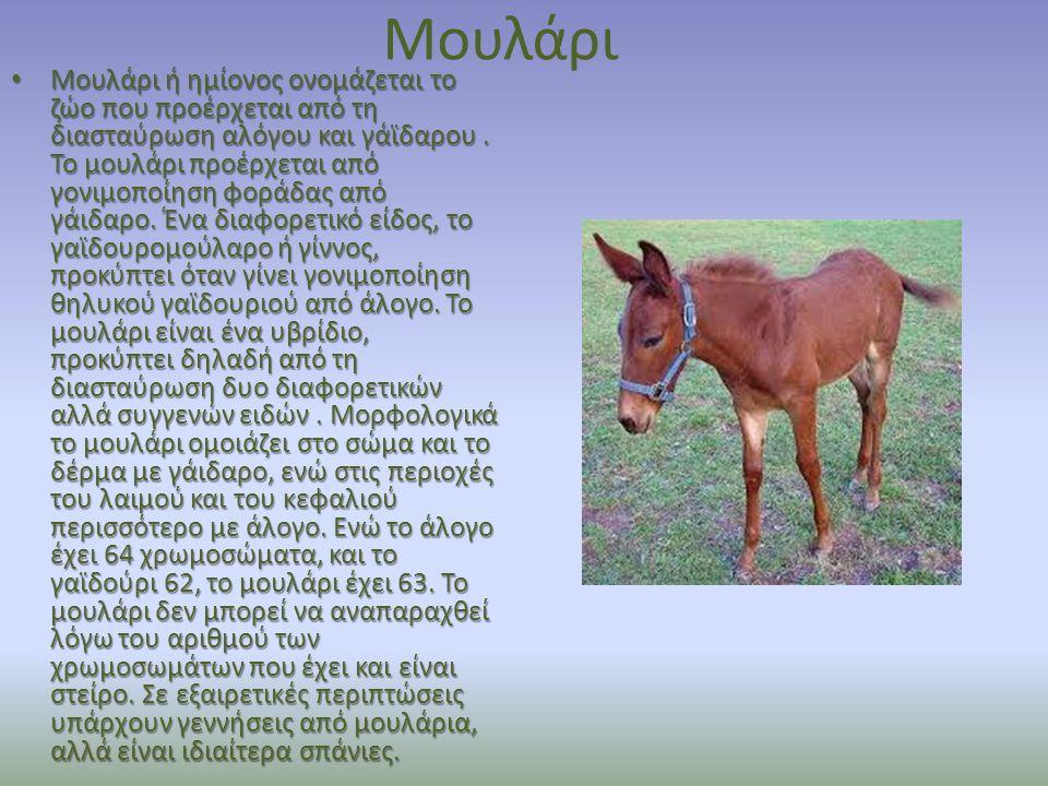 Μουλάρι Μουλάρι ή ημίονος ονομάζεται το ζώο που προέρχεται από τη διασταύρωση αλόγου και γάϊδαρου. Το μουλάρι προέρχεται από γονιμοποίηση φοράδας από
