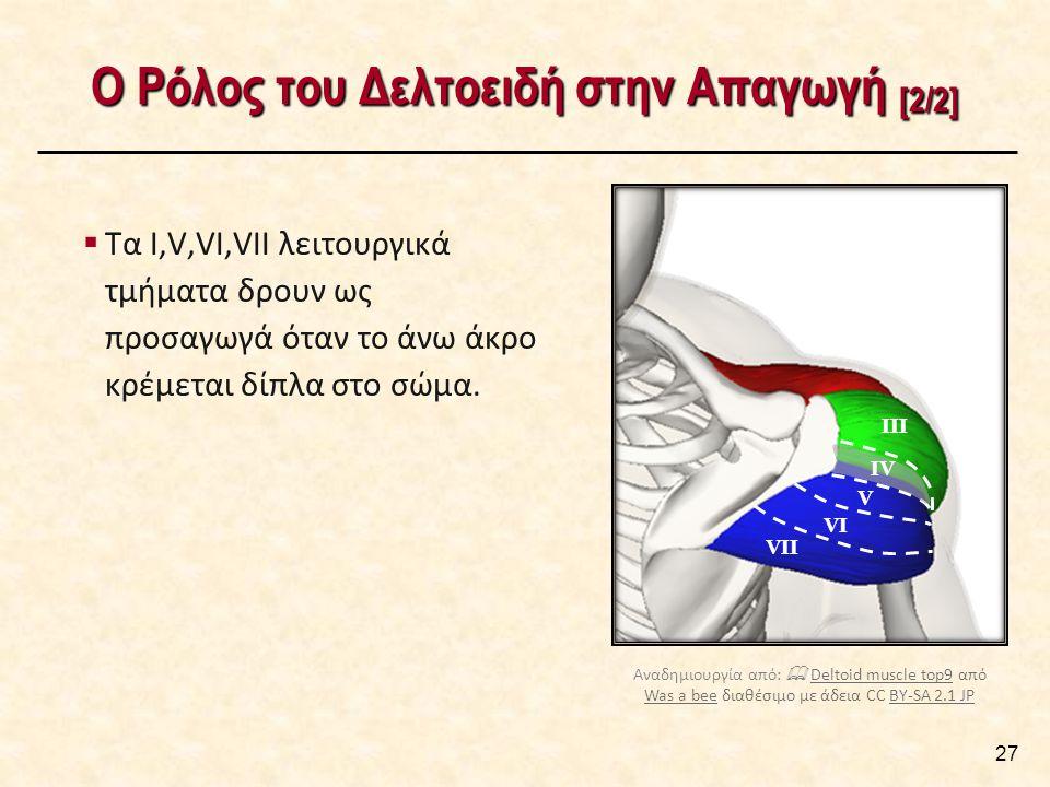 Ο Ρόλος του Δελτοειδή στην Απαγωγή [2/2] 27 IV VII III V VI  Τα Ι,V,VI,VII λειτουργικά τμήματα δρουν ως προσαγωγά όταν το άνω άκρο κρέμεται δίπλα στο σώμα.