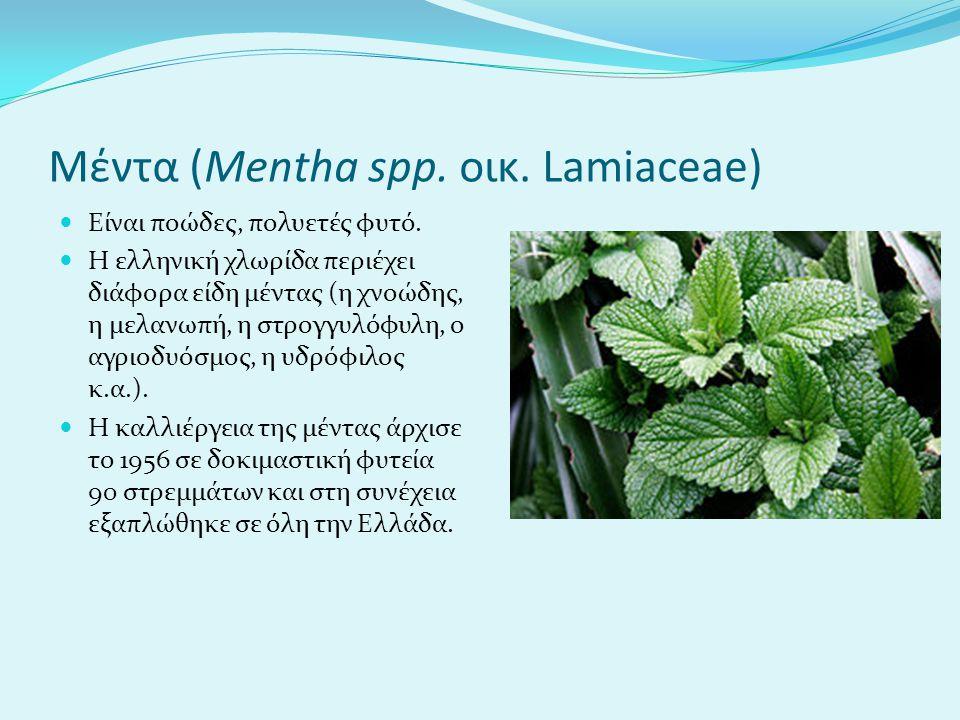 Μέντα (Mentha spp. οικ. Lamiaceae) Είναι ποώδες, πολυετές φυτό. H ελληνική χλωρίδα περιέχει διάφορα είδη μέντας (η χνοώδης, η μελανωπή, η στρογγυλόφυλ