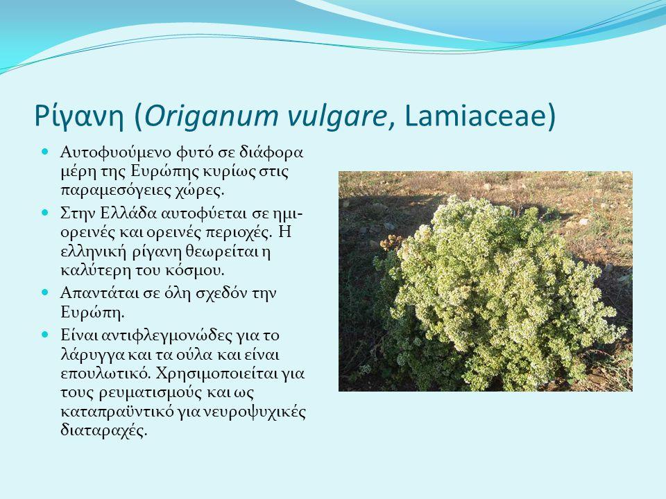 Ρίγανη (Origanum vulgare, Lamiaceae) Aυτοφυούμενο φυτό σε διάφορα μέρη της Ευρώπης κυρίως στις παραμεσόγειες χώρες. Στην Ελλάδα αυτοφύεται σε ημι- ορε