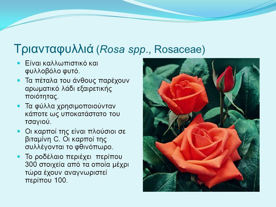 Τριανταφυλλιά (Rosa spp., Rosaceae) Είναι καλλωπιστικό και φυλλοβόλο φυτό. Τα πέταλα του άνθους παρέχουν αρωματικό λάδι εξαιρετικής ποιότητας. Τα φύλλ
