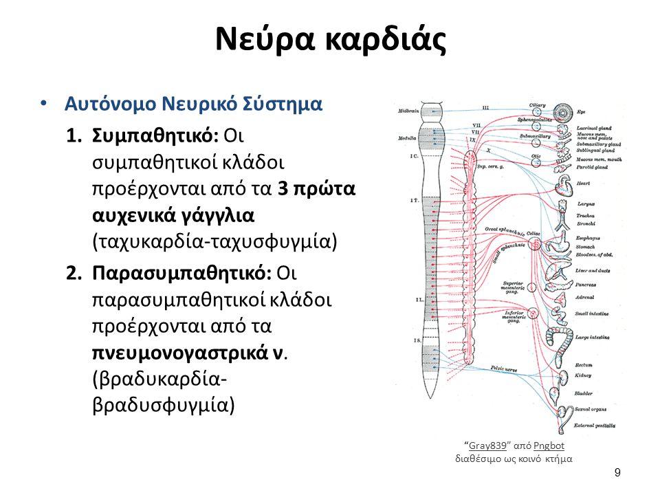 Νεύρα καρδιάς Αυτόνομο Νευρικό Σύστημα 1.Συμπαθητικό: Οι συμπαθητικοί κλάδοι προέρχονται από τα 3 πρώτα αυχενικά γάγγλια (ταχυκαρδία-ταχυσφυγμία) 2.Πα