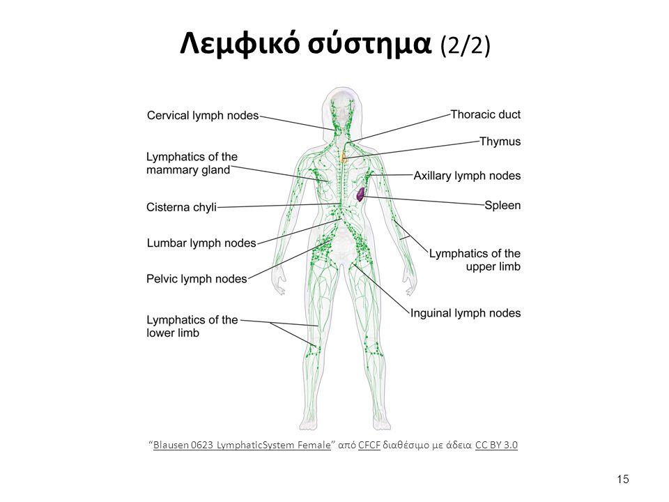 Λεμφικό σύστημα (2/2) 15 Blausen 0623 LymphaticSystem Female από CFCF διαθέσιμο με άδεια CC BY 3.0Blausen 0623 LymphaticSystem FemaleCFCFCC BY 3.0