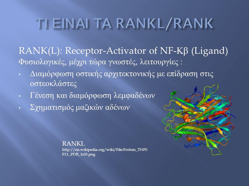 RANK(L): Receptor-Activator of NF- Κβ (Ligand) Φυσιολογικές, μέχρι τώρα γνωστές, λειτουργίες : Διαμόρφωση οστικής αρχιτεκτονικής με επίδραση στις οστεοκλάστες Γένεση και διαμόρφωση λεμφαδένων Σχηματισμός μαζικών αδένων RANKL http://en.wikipedia.org/wiki/File:Protein_TNFS F11_PDB_1s55.png