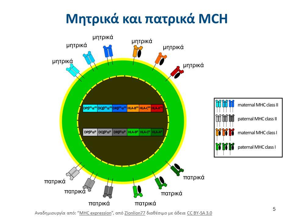 Μητρικά και πατρικά MCH Αναδημιουργία από: MHC expression , από Zionlion77 διαθέσιμο με άδεια CC BY-SA 3.0MHC expressionZionlion77CC BY-SA 3.0 5