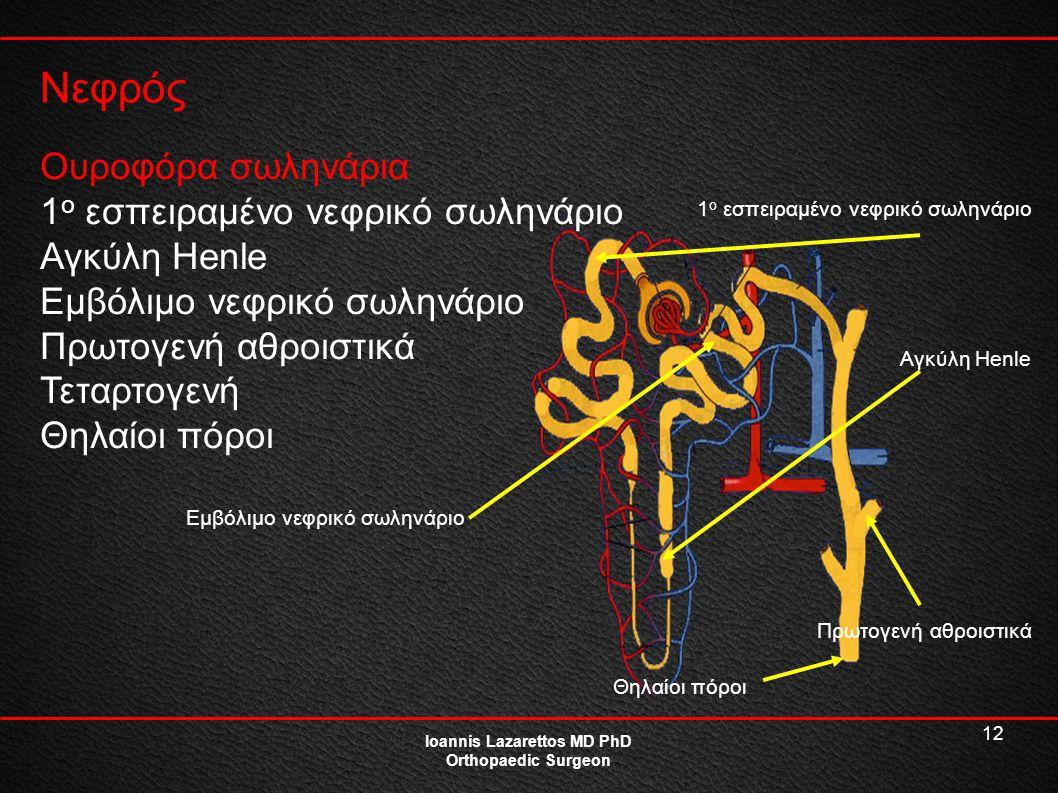 12 Νεφρός Ioannis Lazarettos MD PhD Orthopaedic Surgeon Ουροφόρα σωληνάρια 1 ο εσπειραμένο νεφρικό σωληνάριο Αγκύλη Henle Εμβόλιμο νεφρικό σωληνάριο Π