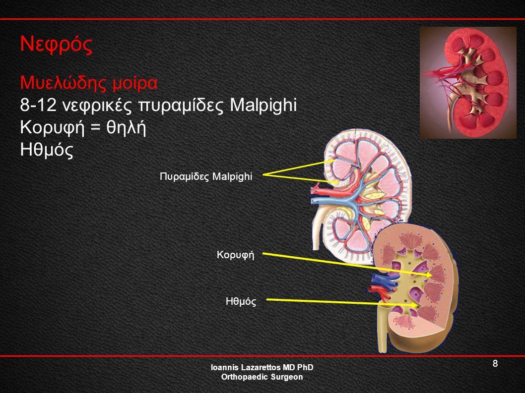8 Νεφρός Ioannis Lazarettos MD PhD Orthopaedic Surgeon Μυελώδης μοίρα 8-12 νεφρικές πυραμίδες Malpighi Κορυφή = θηλή Ηθμός Πυραμίδες Malpighi Κορυφή Η