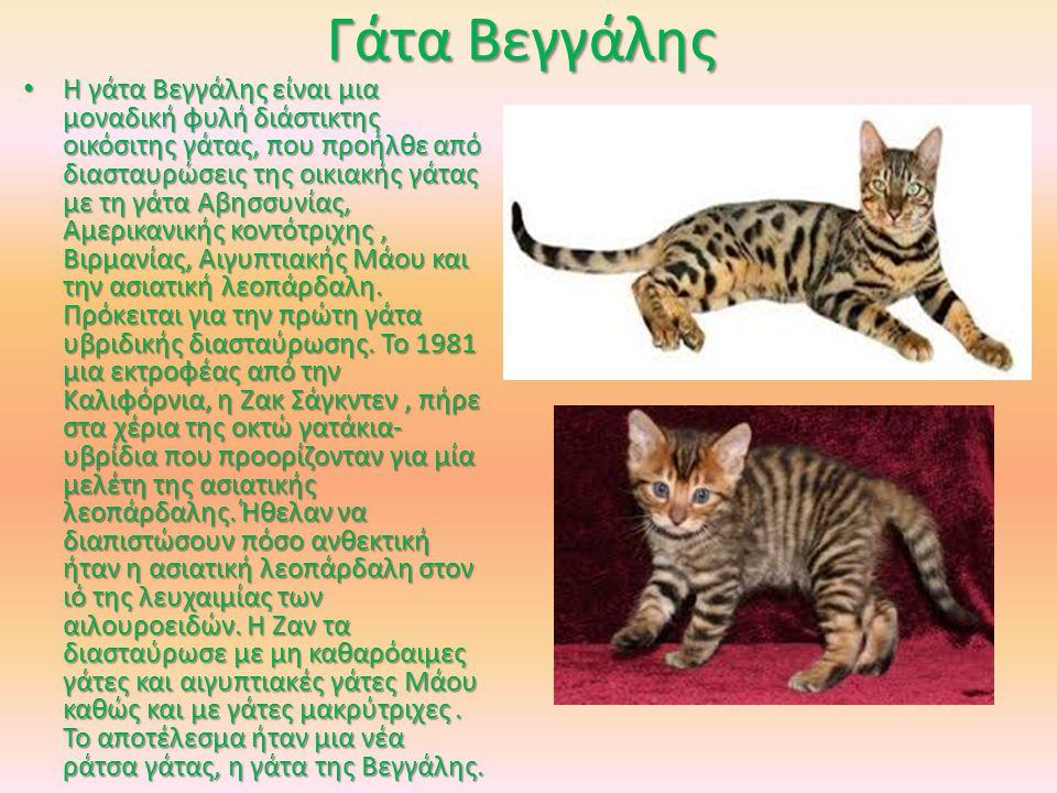 Γάτα Βεγγάλης Η γάτα Βεγγάλης είναι μια μοναδική φυλή διάστικτης οικόσιτης γάτας, που προήλθε από διασταυρώσεις της οικιακής γάτας με τη γάτα Αβησσυνίας, Αμερικανικής κοντότριχης, Βιρμανίας, Αιγυπτιακής Μάου και την ασιατική λεοπάρδαλη.