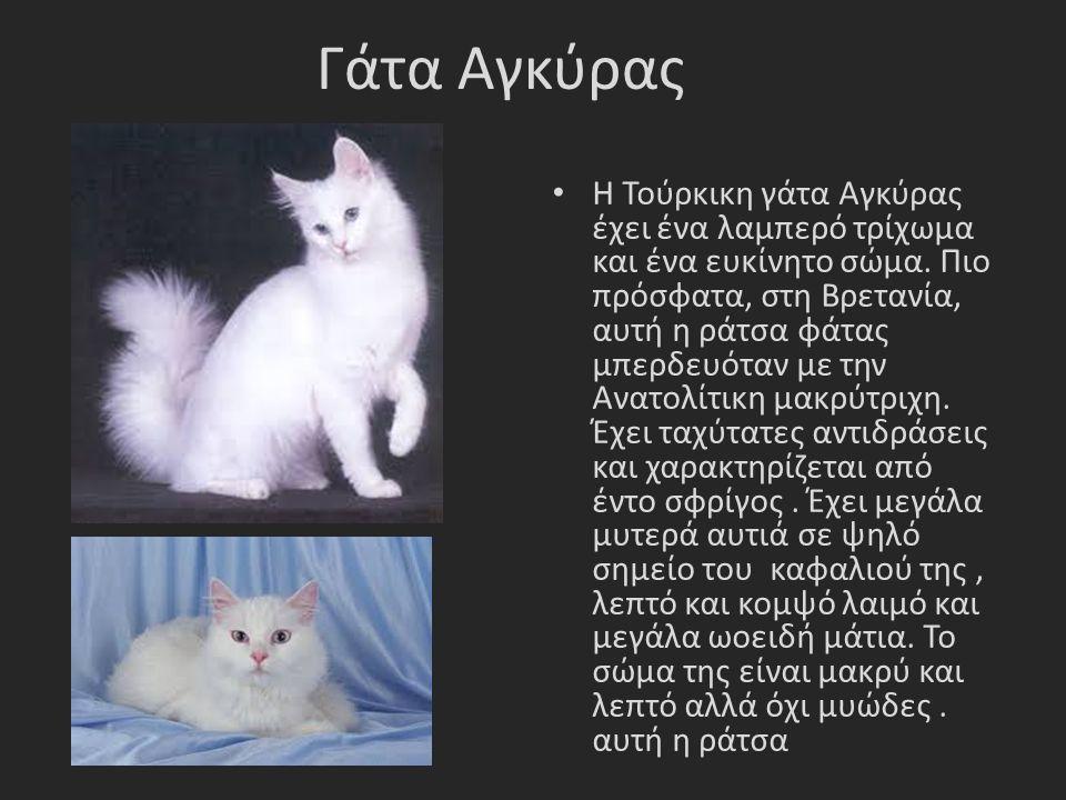 Γάτα Αγκύρας Η Τούρκικη γάτα Αγκύρας έχει ένα λαμπερό τρίχωμα και ένα ευκίνητο σώμα.