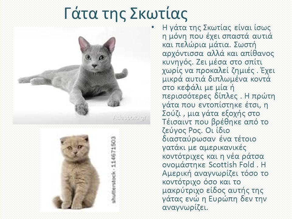 Γάτα της Σκωτίας Η γάτα της Σκωτίας είναι ίσως η μόνη που έχει σπαστά αυτιά και πελώρια μάτια.