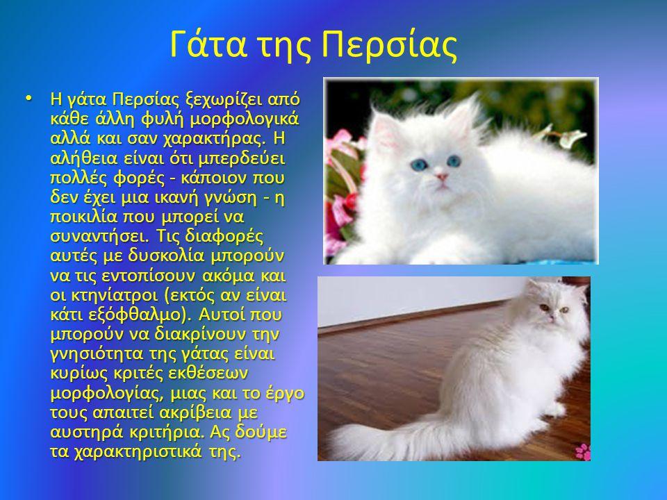 Γάτα της Περσίας Η γάτα Περσίας ξεχωρίζει από κάθε άλλη φυλή μορφολογικά αλλά και σαν χαρακτήρας.