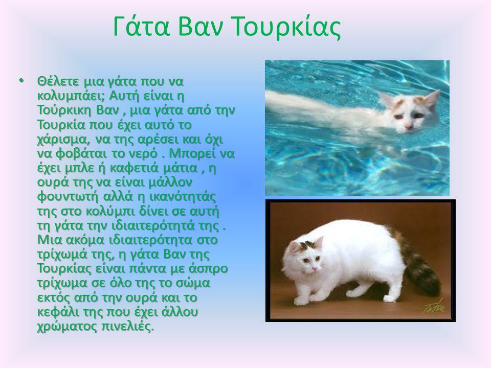 Γάτα Βαν Τουρκίας Θέλετε μια γάτα που να κολυμπάει; Αυτή είναι η Τούρκικη Βαν, μια γάτα από την Τουρκία που έχει αυτό το χάρισμα, να της αρέσει και όχι να φοβάται το νερό.
