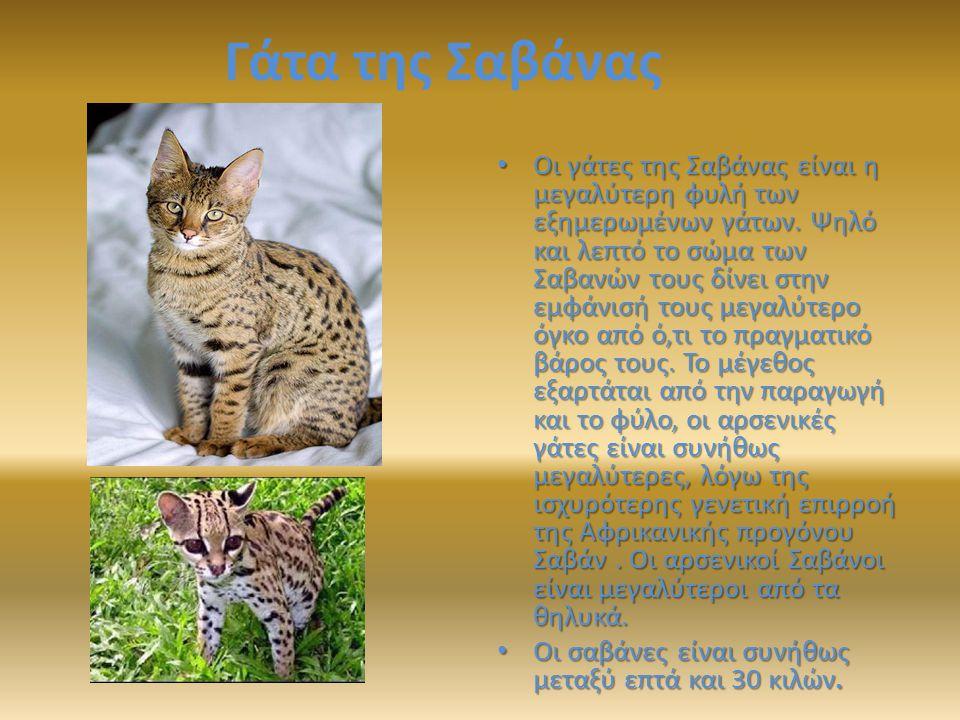 Γάτα της Σαβάνας Οι γάτες της Σαβάνας είναι η μεγαλύτερη φυλή των εξημερωμένων γάτων.