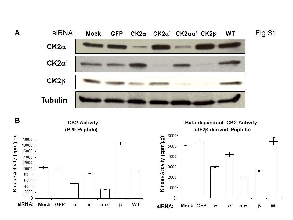 Fig.S1 b CK2 mRNA level C a siRNA: c CK2 mRNA level 0 MockGFP CK2 siRNA: 0 1 2 MockGFP CK2 Relative Quantity 1 2 Snail1 mRNA level siRNA: MockGFP CK2 0 1 2 3 Relative Quantity siRNA: 0 1 2 3 4 MockGFP CK2 CK2 Relative Quantity d