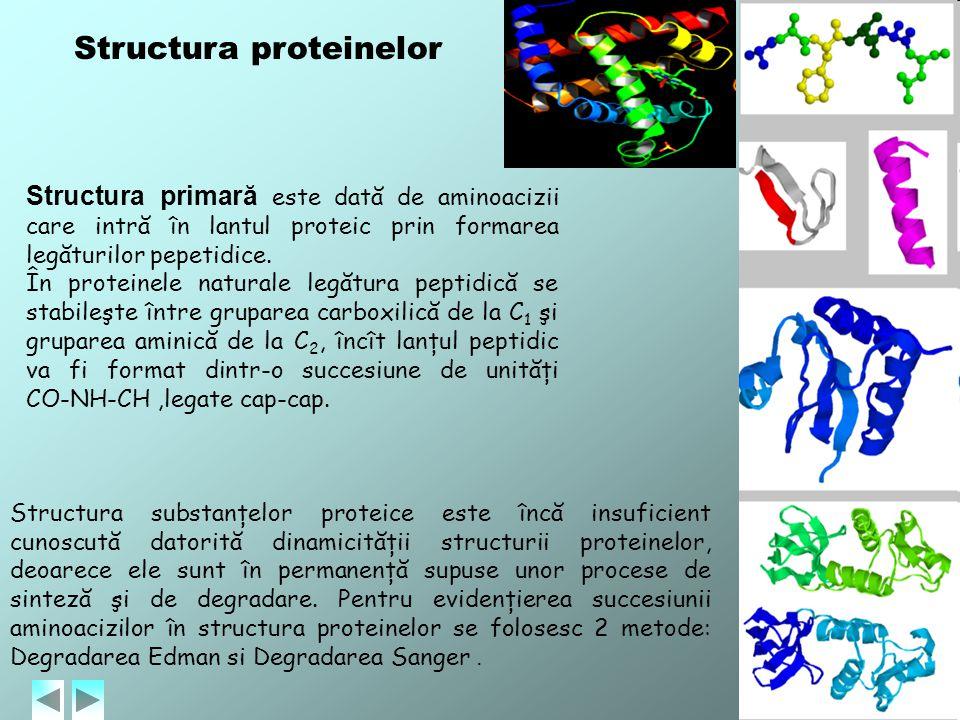 Structura proteinelor Structura primară este dată de aminoacizii care intră în lantul proteic prin formarea legăturilor pepetidice. În proteinele natu