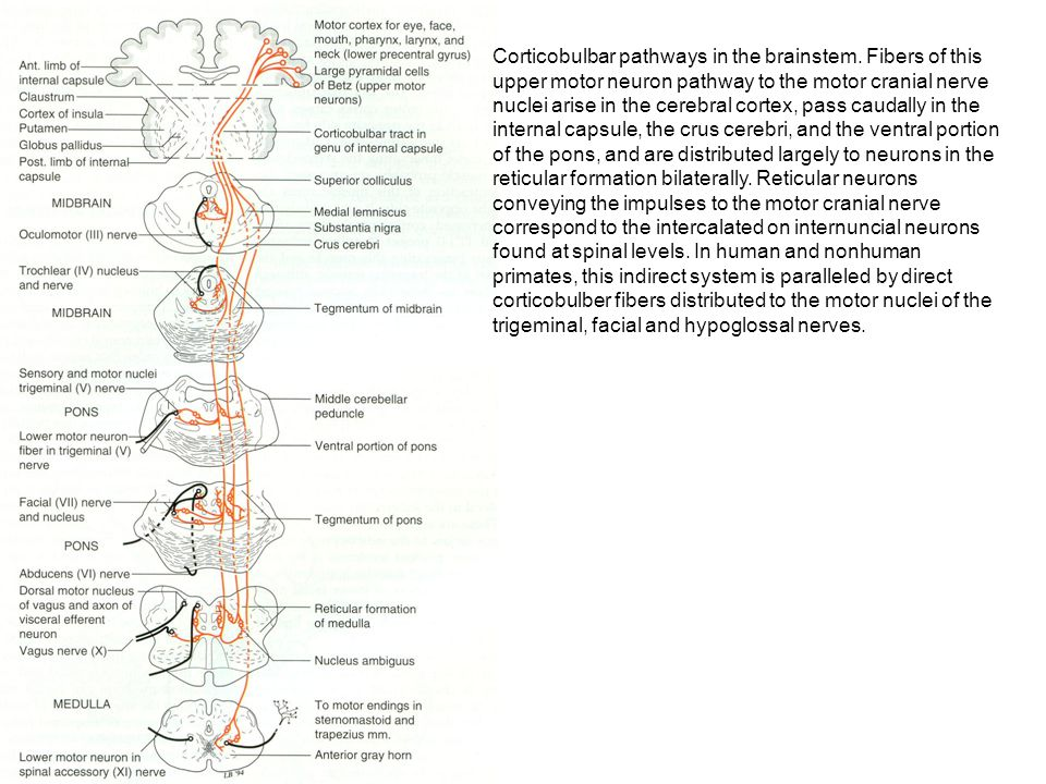 Corticobulbar pathways in the brainstem. Fibers of this upper motor neuron pathway to the motor cranial nerve nuclei arise in the cerebral cortex, pas