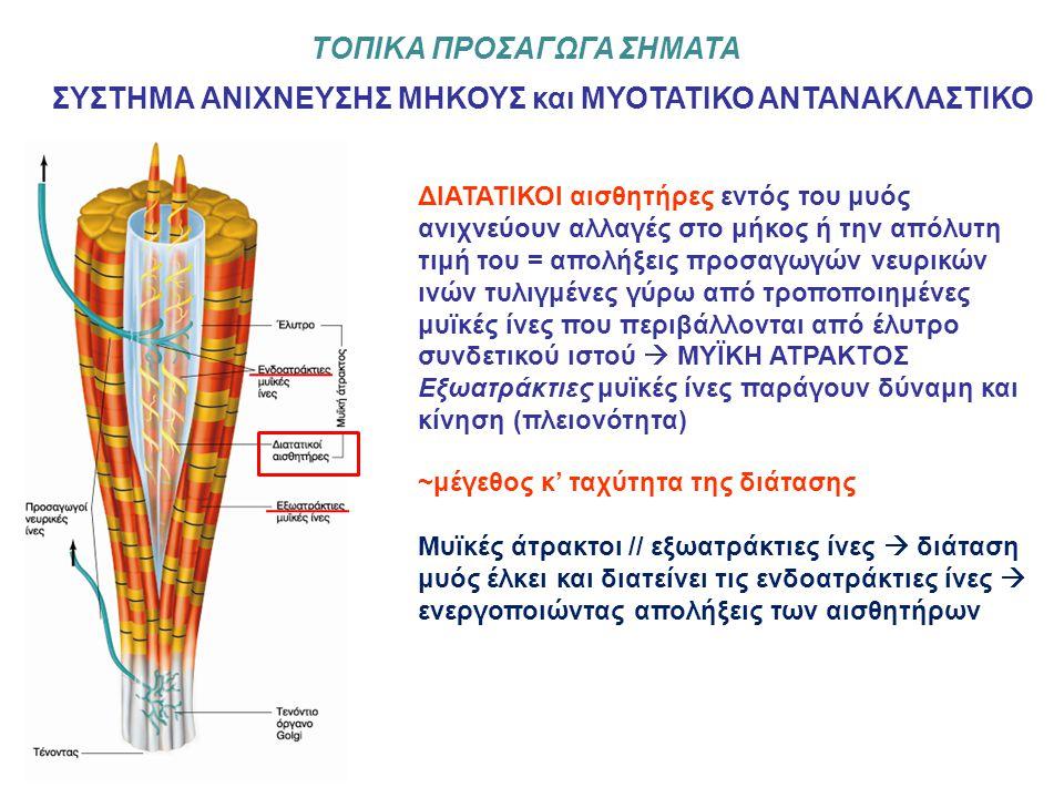 ΤΟΠΙΚΑ ΠΡΟΣΑΓΩΓΑ ΣΗΜΑΤΑ ΣΥΣΤΗΜΑ ΑΝΙΧΝΕΥΣΗΣ ΜΗΚΟΥΣ και ΜΥΟΤΑΤΙΚΟ ΑΝΤΑΝΑΚΛΑΣΤΙΚΟ ΔΙΑΤΑΤΙΚΟΙ αισθητήρες εντός του μυός ανιχνεύουν αλλαγές στο μήκος ή την απόλυτη τιμή του = απολήξεις προσαγωγών νευρικών ινών τυλιγμένες γύρω από τροποποιημένες μυϊκές ίνες που περιβάλλονται από έλυτρο συνδετικού ιστού  ΜΥΪΚΗ ΑΤΡΑΚΤΟΣ Εξωατράκτιες μυϊκές ίνες παράγουν δύναμη και κίνηση (πλειονότητα) ~μέγεθος κ' ταχύτητα της διάτασης Μυϊκές άτρακτοι // εξωατράκτιες ίνες  διάταση μυός έλκει και διατείνει τις ενδοατράκτιες ίνες  ενεργοποιώντας απολήξεις των αισθητήρων