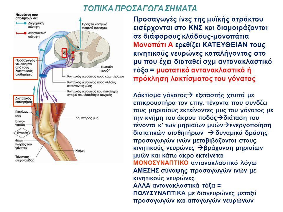 Προσαγωγές ίνες της μυϊκής ατράκτου εισέρχονται στο ΚΝΣ και διαμοιράζονται σε διάφορους κλάδους-μονοπάτια Μονοπάτι Α ερεθίζει ΚΑΤΕΥΘΕΙΑΝ τους κινητικούς νευρώνες καταλήγοντας στο μυ που έχει διαταθεί σχμ αντανακλαστικό τόξο = μυοτατικό αντανακλαστικό ή πρόκληση λακτίσματος του γόνατος Λάκτισμα γόνατος  εξεταστής χτυπά με επικρουστήρα τον επιγ.