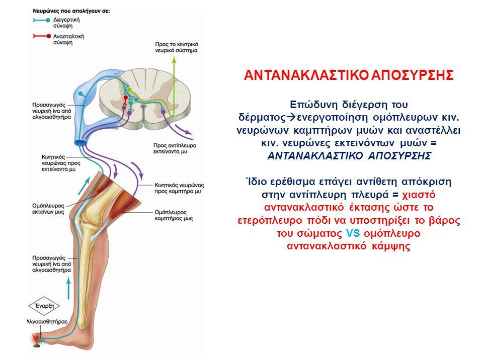 ΑΝΤΑΝΑΚΛΑΣΤΙΚΟ ΑΠΟΣΥΡΣΗΣ Επώδυνη διέγερση του δέρματος  ενεργοποίηση ομόπλευρων κιν. νευρώνων καμπτήρων μυών και αναστέλλει κιν. νευρώνες εκτεινόντων