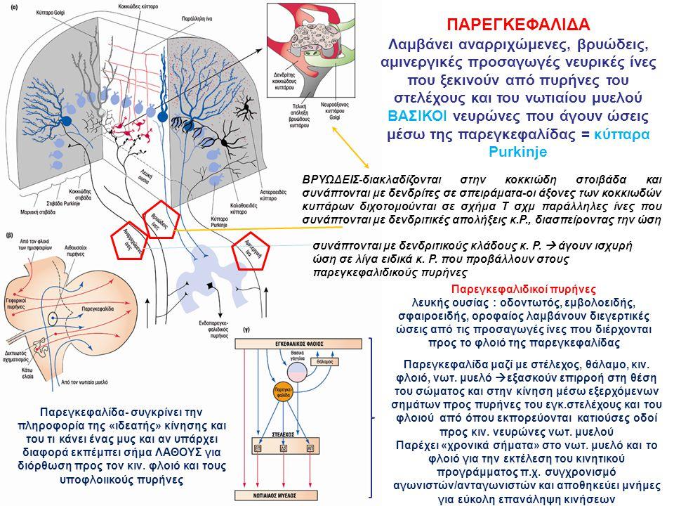 ΠΑΡΕΓΚΕΦΑΛΙΔΑ Λαμβάνει αναρριχώμενες, βρυώδεις, αμινεργικές προσαγωγές νευρικές ίνες που ξεκινούν από πυρήνες του στελέχους και του νωτιαίου μυελού ΒΑΣΙΚΟΙ νευρώνες που άγουν ώσεις μέσω της παρεγκεφαλίδας = κύτταρα Purkinje συνάπτονται με δενδριτικούς κλάδους κ.