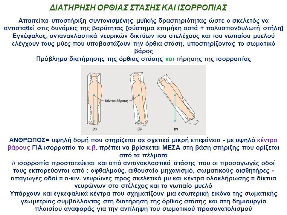 ΔΙΑΤΗΡΗΣΗ ΟΡΘΙΑΣ ΣΤΑΣΗΣ ΚΑΙ ΙΣΟΡΡΟΠΙΑΣ Απαιτείται υποστήριξη συντονισμένης μυϊκής δραστηριότητας ώστε ο σκελετός να αντισταθεί στις δυνάμεις της βαρύτητας [σύστημα επιμήκη οστά + πολυσπονδυλωτή στήλη] Εγκέφαλος, αντανακλαστικά νευρικών δικτύων του στελέχους και του νωτιαίου μυελού ελέγχουν τους μύες που υποβαστάζουν την όρθια στάση, υποστηρίζοντας το σωματικό βάρος Πρόβλημα διατήρησης της όρθιας στάσης και τήρησης της ισορροπίας ΑΝΘΡΩΠΟΣ= υψηλή δομή που στηρίζεται σε σχετικά μικρή επιφάνεια - με υψηλό κέντρο βάρους ΓΙΑ ισορροπία το κ.β.