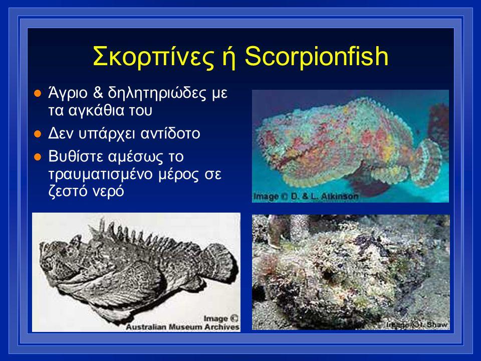 Σκορπίνες ή Scorpionfish l Άγριο & δηλητηριώδες με τα αγκάθια του l Δεν υπάρχει αντίδοτο l Βυθίστε αμέσως το τραυματισμένο μέρος σε ζεστό νερό