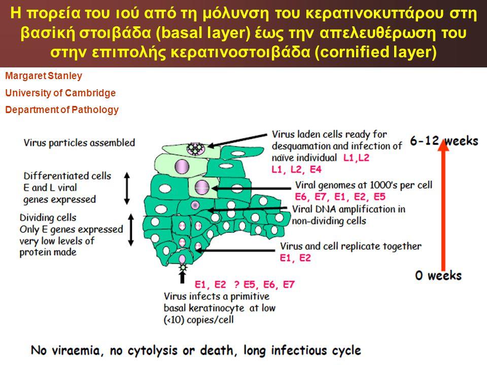 Margaret Stanley University of Cambridge Department of Pathology Η πορεία του ιού από τη μόλυνση του κερατινοκυττάρου στη βασiκή στοιβάδα (basal layer