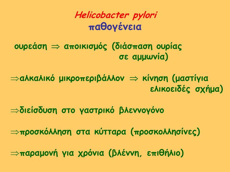 Helicobacter pylori παθογένεια ουρεάση  αποικισμός (διάσπαση ουρίας σε αμμωνία)  αλκαλικό μικροπεριβάλλον  κίνηση (μαστίγια ελικοειδές σχήμα)  διε