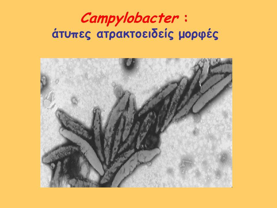 Campylobacter jejuni – Campylobacter coli αντιμικροβιακή χημειοθεραπεία ερυθρομυκίνη (αιτιολογικά) φλουοροκινολόνες (ciprofloxacin, levofloxacin, ofloxacin : εμπειρικά ή αιτιολογικά) τετρακυκλίνες χλωραμφενικόλη αμινογλυκοσίδες β-λακταμικά : ιμπενέμη (συστηματική λοίμωξη) αμπικιλλίνη, αμοξικιλλίνη/κλαβ.