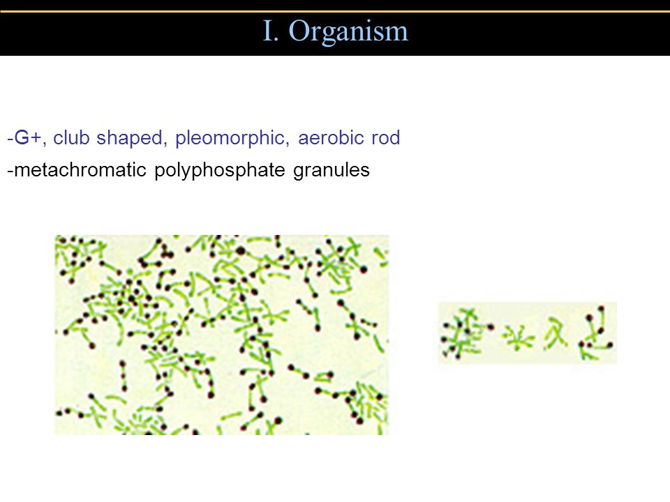I. Organism -G+, club shaped, pleomorphic, aerobic rod -metachromatic polyphosphate granules