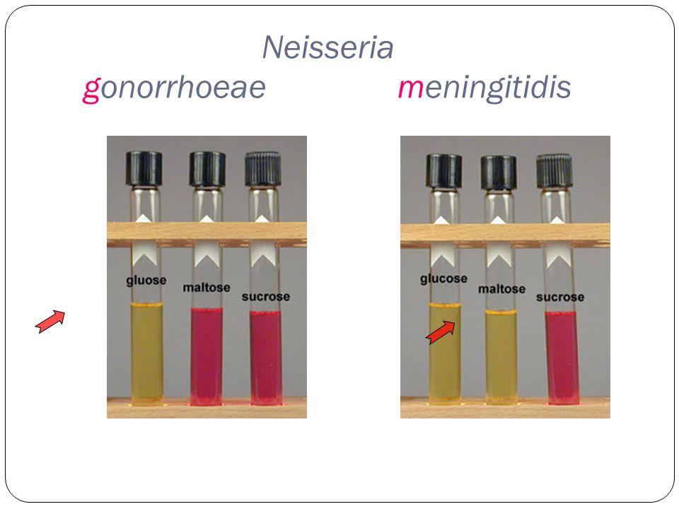 Neisseria gonorrhoeaemeningitidis
