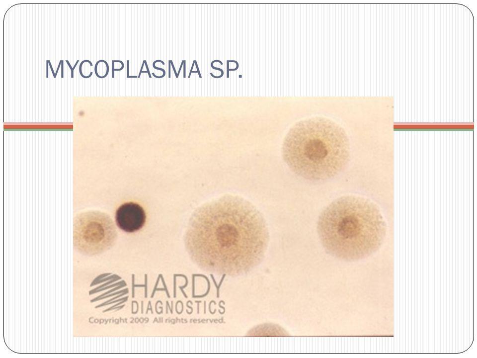 MYCOPLASMA SP.