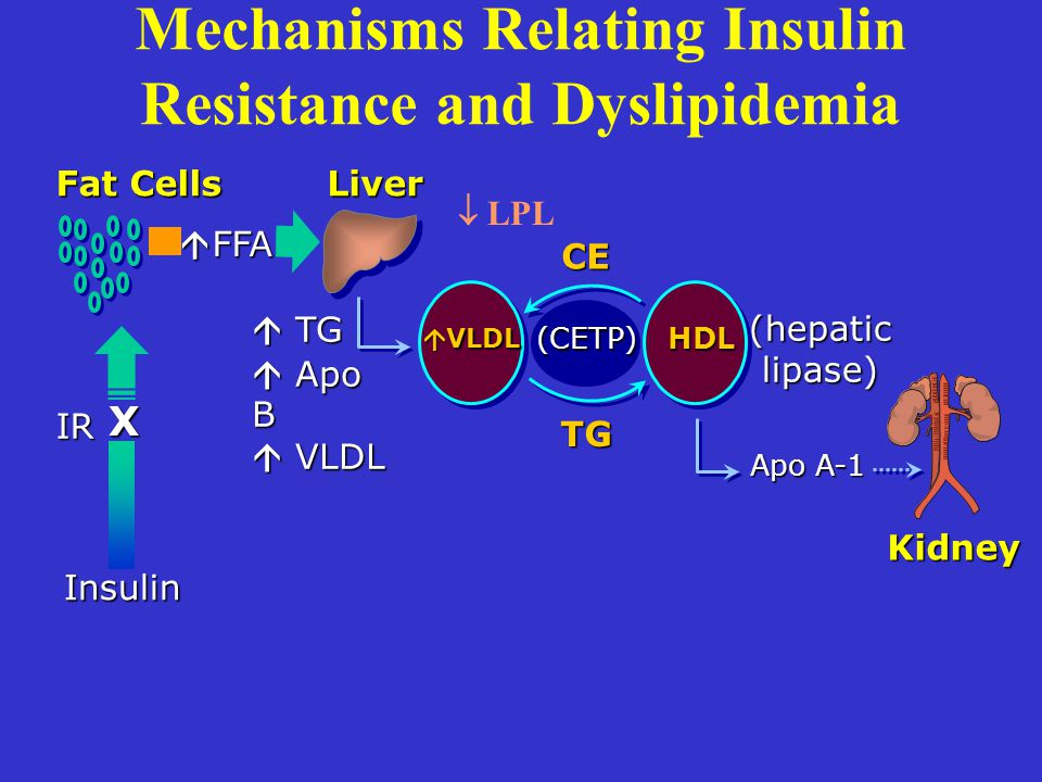 (hepatic lipase) Mechanisms Relating Insulin Resistance and Dyslipidemia Fat Cells Liver Kidney Insulin IR X (CETP) CE  TG  Apo B  VLDL HDL TG Apo