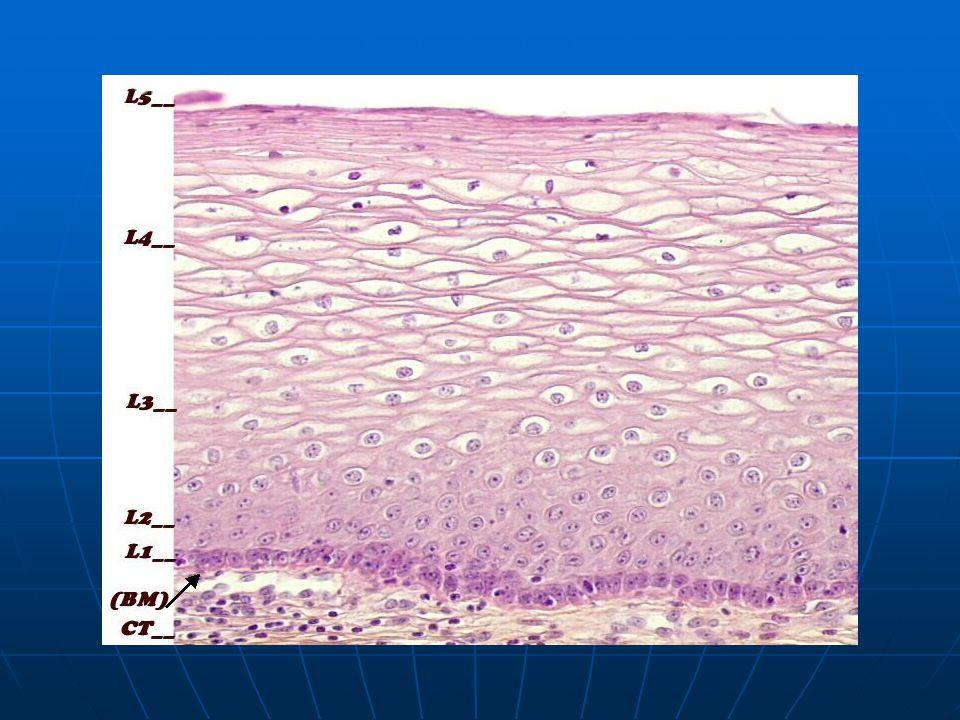 Γυναίκες κάτω των 30 Test Pap αρνητικό Test Pap ASC-US Επανάληψη 1 έτος Επανάληψη 1 έτος HPV (-) HPV (+) κολποσκόπηση Test Pap αλλοιώσεις