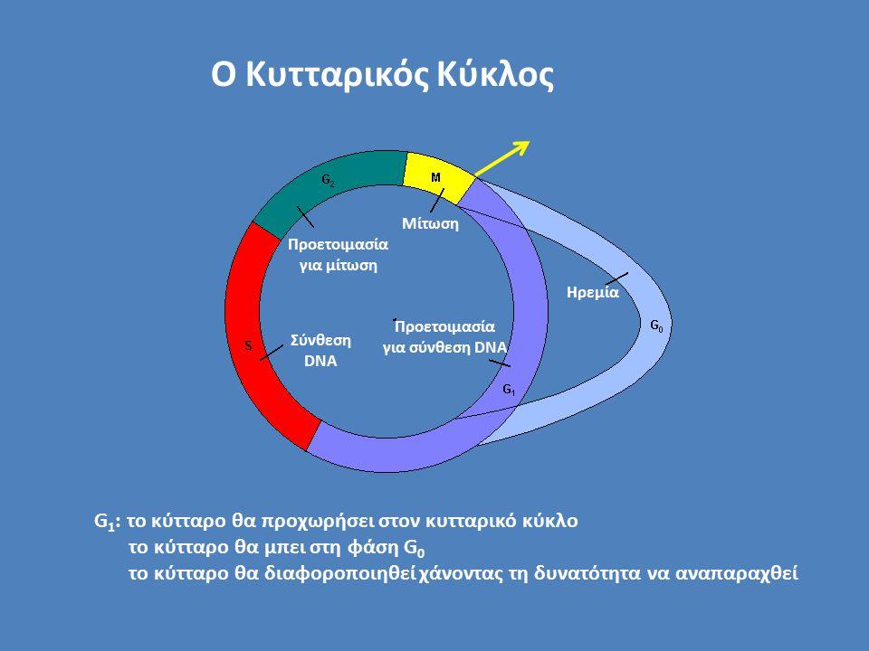 Σύνθεση DNA Ο Κυτταρικός Κύκλος Προετοιμασία για μίτωση Μίτωση Προετοιμασία για σύνθεση DNA Ηρεμία G 1 : το κύτταρο θα προχωρήσει στον κυτταρικό κύκλο