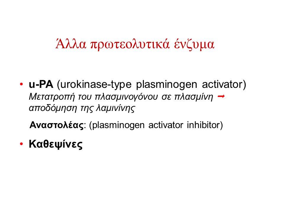 Άλλα πρωτεολυτικά ένζυμα u-PA (urokinase-type plasminogen activator) Μετατροπή του πλασμινογόνου σε πλασμίνη  αποδόμηση της λαμινίνης Αναστολέας: (pl