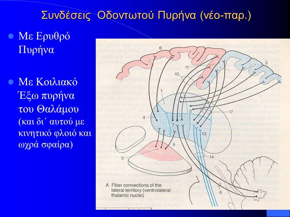 Συνδέσεις Οδοντωτού Πυρήνα (νέο-παρ.) Με Ερυθρό Πυρήνα Με Κοιλιακό Έξω πυρήνα του Θαλάμου (και δι΄ αυτού με κινητικό φλοιό και ωχρά σφαίρα)