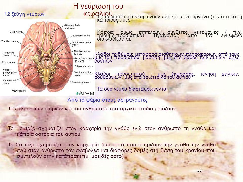 13 Η νεύρωση του κεφαλιού 12 ζεύγη νεύρων Τα περισσότερα νευρώνουν ένα και μόνο όργανο (π.χ.οπτικό) ή κάποιους μύες. Κάποια όμως επιτελούν σύνθετες λε