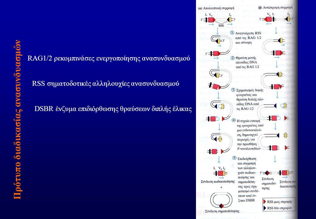 Πρότυπο διαδικασίας ανασυνδυασμών RAG1/2 ρεκομπινάσες ενεργοποίησης ανασυνδυασμού RSS σηματοδοτικές αλληλουχίες ανασυνδυασμού DSBR ένζυμα επιδιόρθωσης