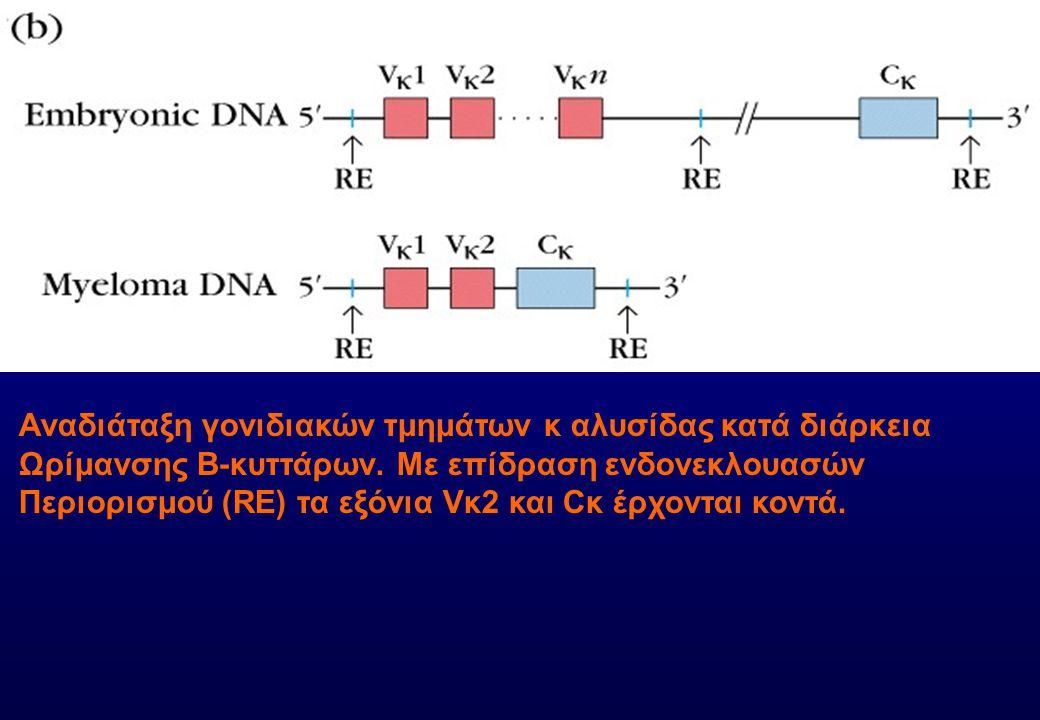 Αναδιάταξη γονιδιακών τμημάτων κ αλυσίδας κατά διάρκεια Ωρίμανσης Β-κυττάρων. Με επίδραση ενδονεκλουασών Περιορισμού (RE) τα εξόνια Vκ2 και Cκ έρχοντα