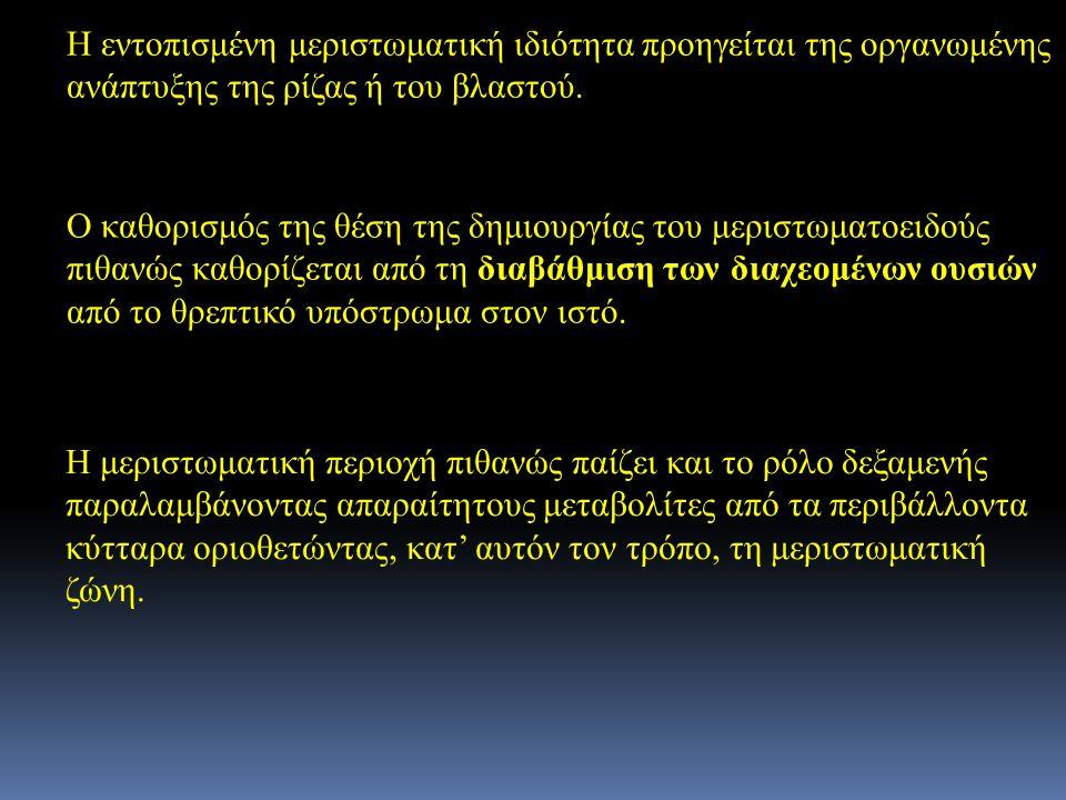 Η εντοπισμένη μεριστωματική ιδιότητα προηγείται της οργανωμένης ανάπτυξης της ρίζας ή του βλαστού. Ο καθορισμός της θέση της δημιουργίας του μεριστωμα
