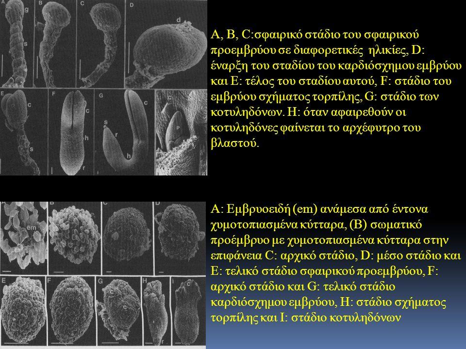 Α, Β, C:σφαιρικό στάδιο του σφαιρικού προεμβρύου σε διαφορετικές ηλικίες, D: έναρξη του σταδίου του καρδιόσχημου εμβρύου και Ε: τέλος του σταδίου αυτο